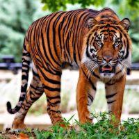 Die ausgebrochenen Tiger und das Coronavirus