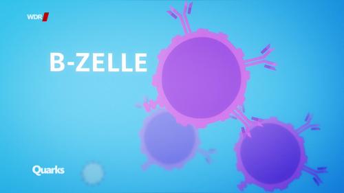 B-Zelle